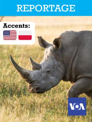 La FIV: dernier espoir pour sauver l'espèce des rhinocéros blancs du nord