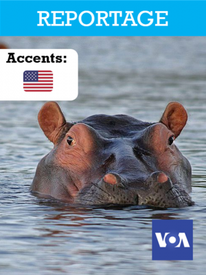 L'influence du crottin d'hippopotame dans l'équilibre des rivières
