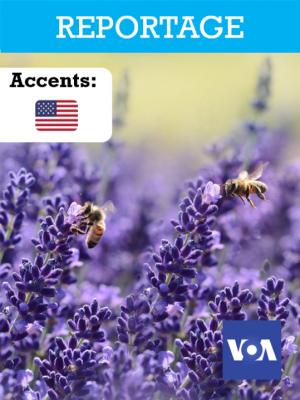 Disparition des abeilles: quel impact pour l'humanité?