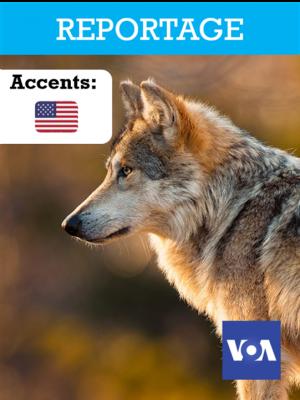La réintroduction des loups aux Etats-Unis
